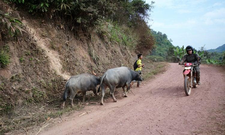 Vorbei an Wasserbüffeln