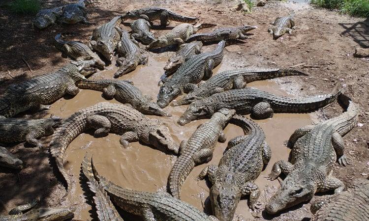 Besuch der Krokodilfarm