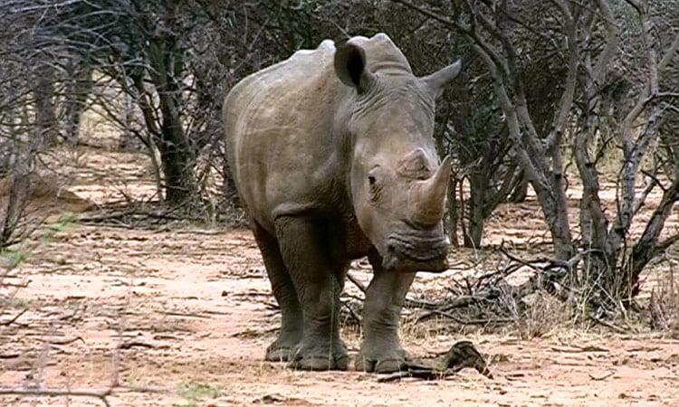Ein stattliches Tier - das Nashorn im Etosha National Park