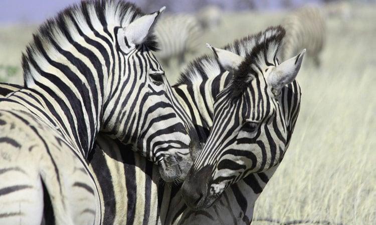 Zebras im Etosha National Park