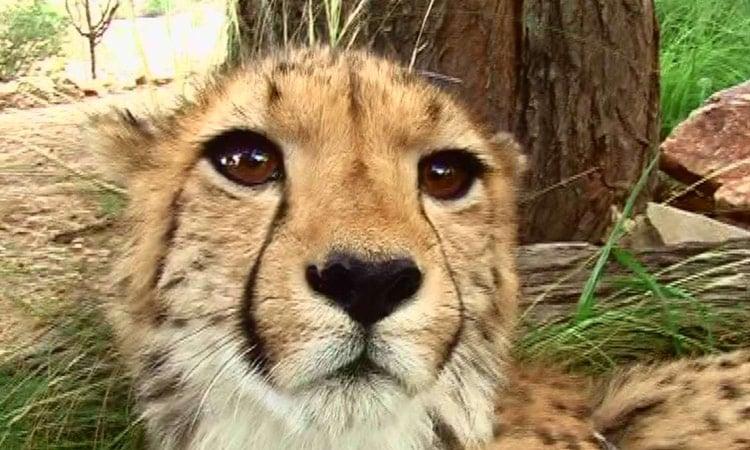 Neugieriger Leopard