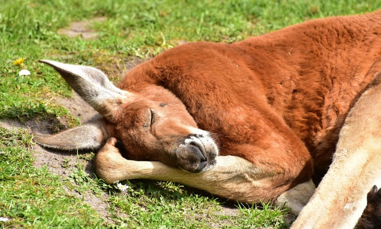 Schlafendes Kangaroo auf Kangaroo Island