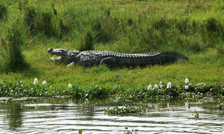 Krokodil liegt faul am Flussufer