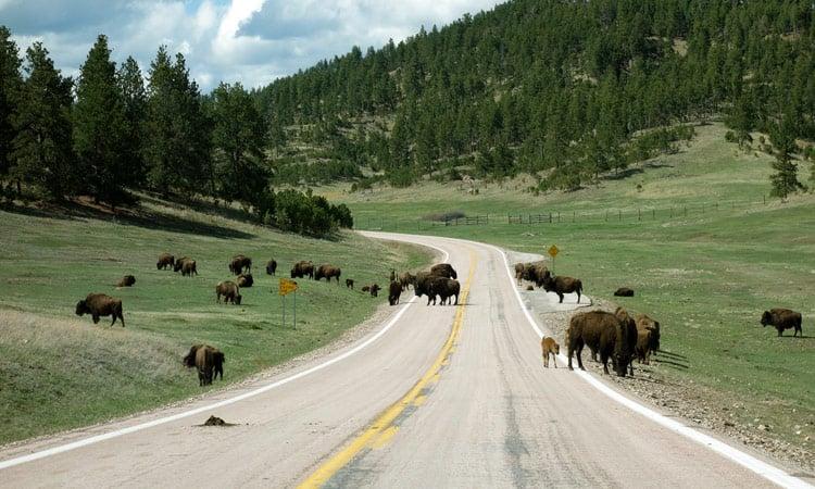 Bisonherde im Custer State Park