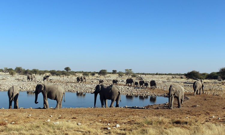 Wüstenelefanten an der Wasserstelle
