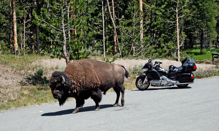 Bison und Motorrad