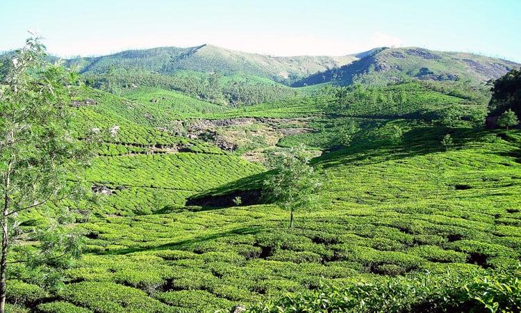 Teeplantagen wohin man schaut
