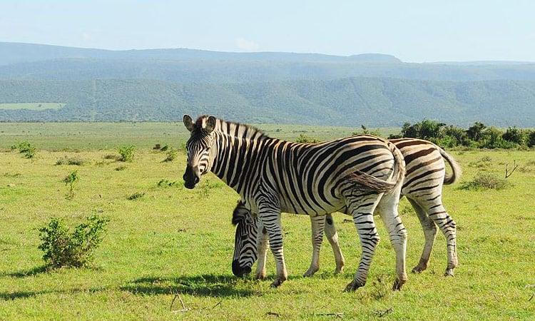 Die Zebras grasen ganz entspannt