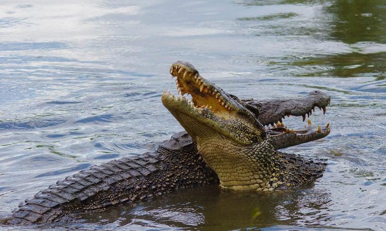 Wir besichtigen die Krokodilfarm