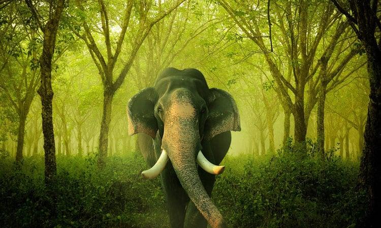Prächtiger Indischer Elefant