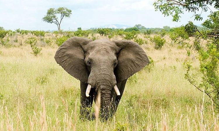 Ein Elefant sagt hallo im Addo Elephant Park