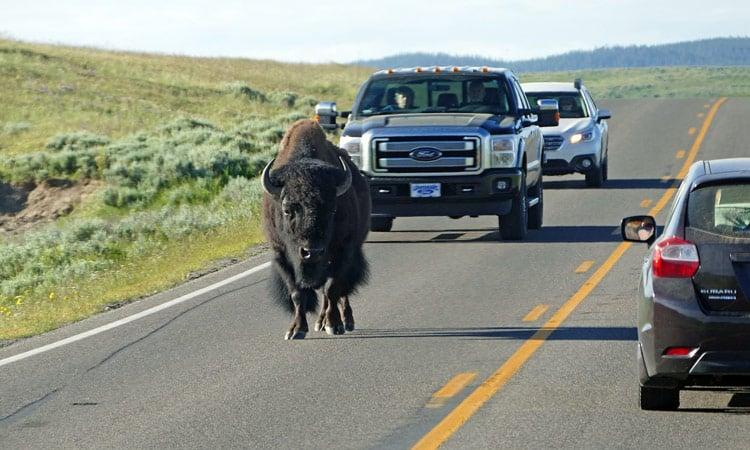 Yellowstone N.P. Bison auf der Strasse