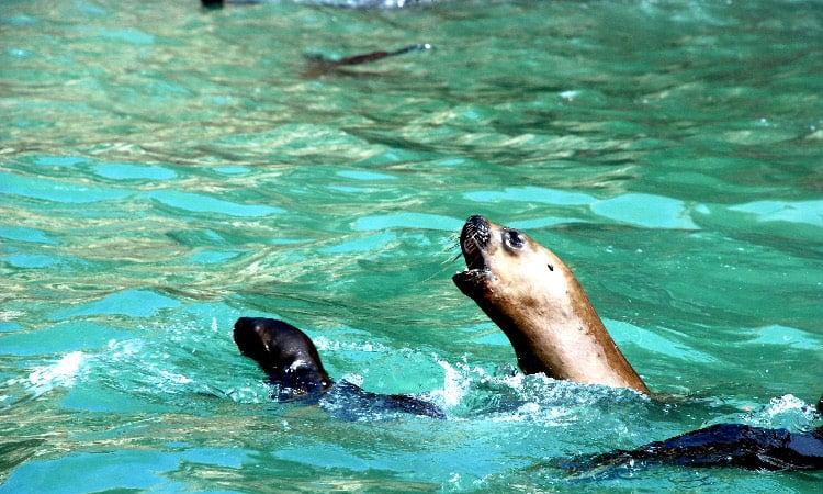 Die Seelöwen der Islas Balestas