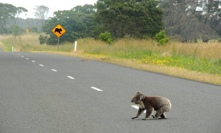 Ein Koala Bär überquert die Strasse