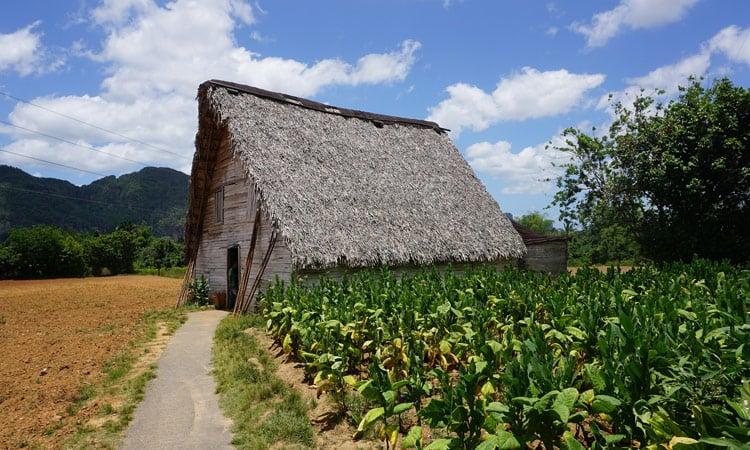 Tabak Plantage