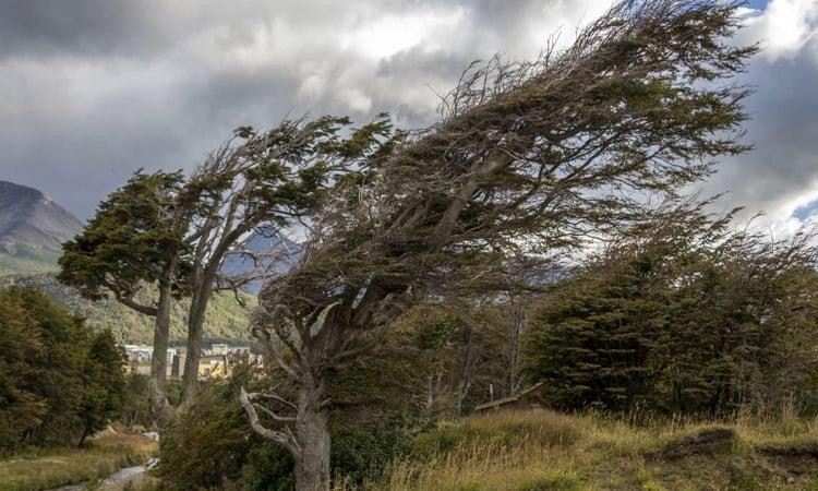 Durch starke Winde geformter Baum auf Feuerland