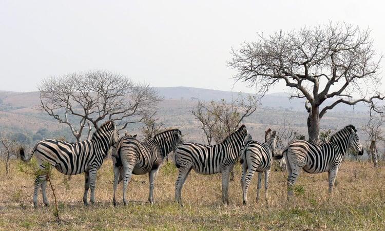 Zebras im Hwange National Park