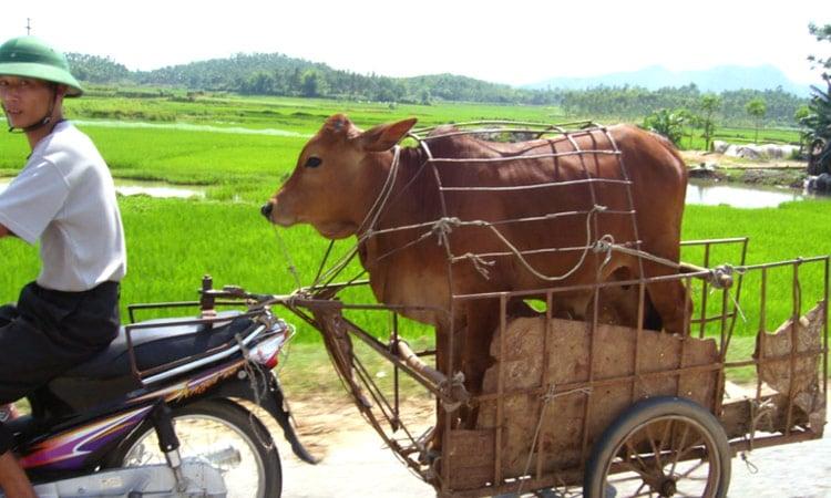 Vietnamesischer Viehtransport