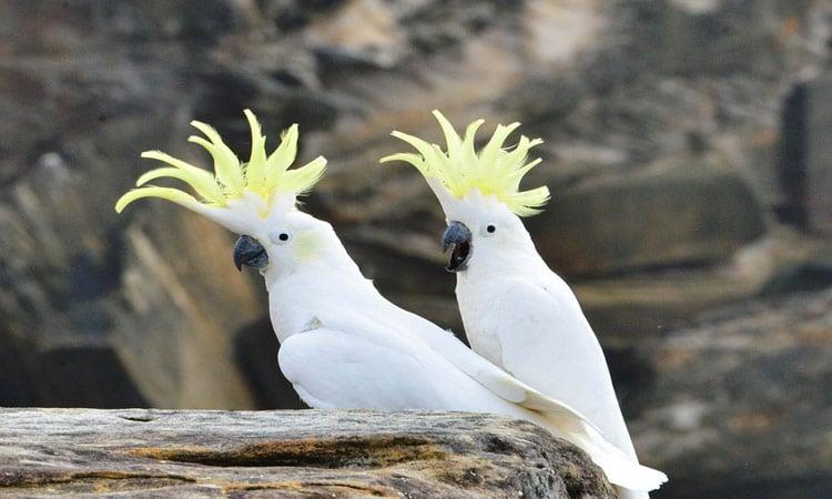 Zwei Gelbhauben Kakadus