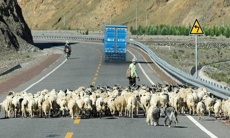 Eine Ziegenherde auf der Strasse nach Lhasa