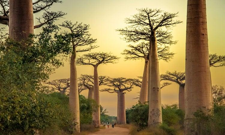 Die einzigartigen Baobab Bäume