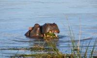Flusspferd im Pongola Fluss