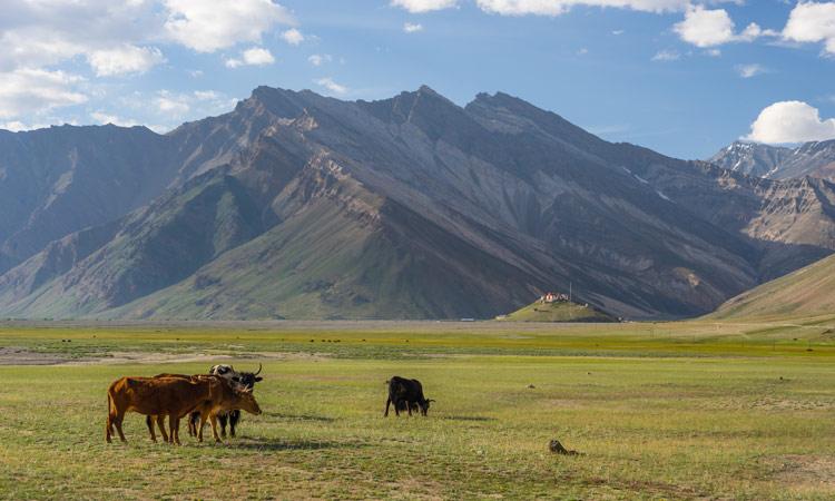 Kühe weiden in Zanskar