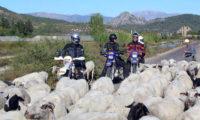 Viel Verkehr die Schafe haben natürlich Vorfahrt
