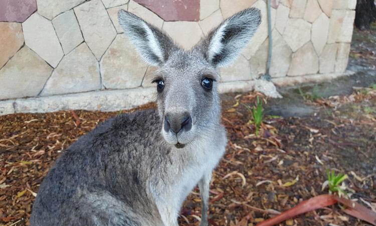 ein neugieriges Kangaroo