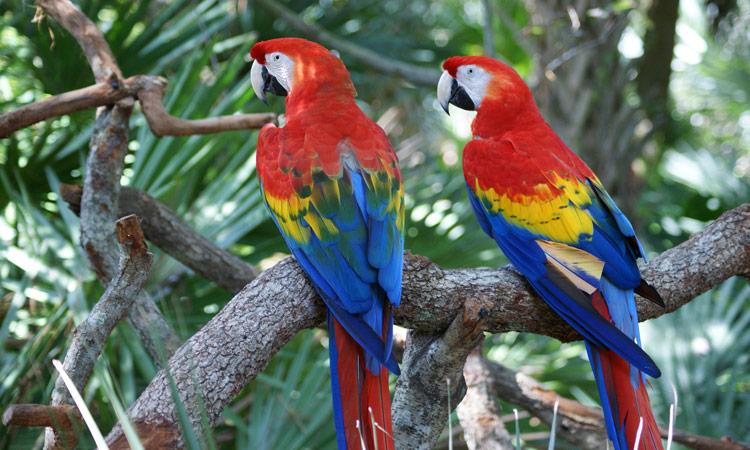 rote Aras im Regenwald