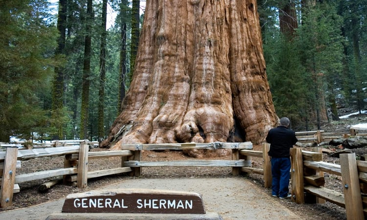 Größter Baum der Welt General Sherman