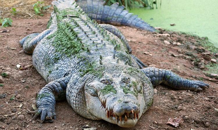 Ein gut genährtes Krokodil