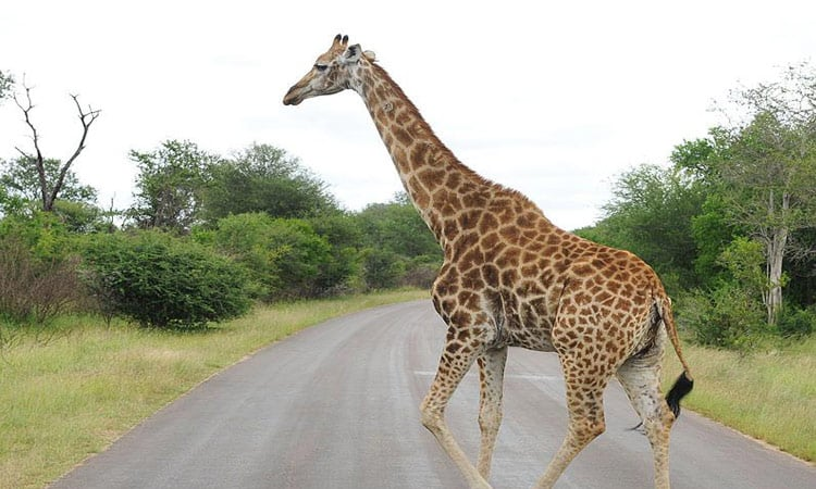 Eine Giraffe kreuzt unseren Weg