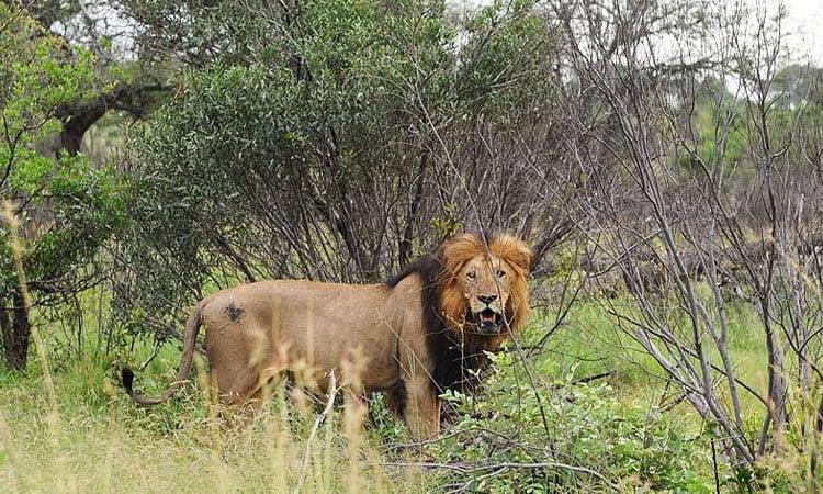 Ein stattlicher Löwe beobachtet uns