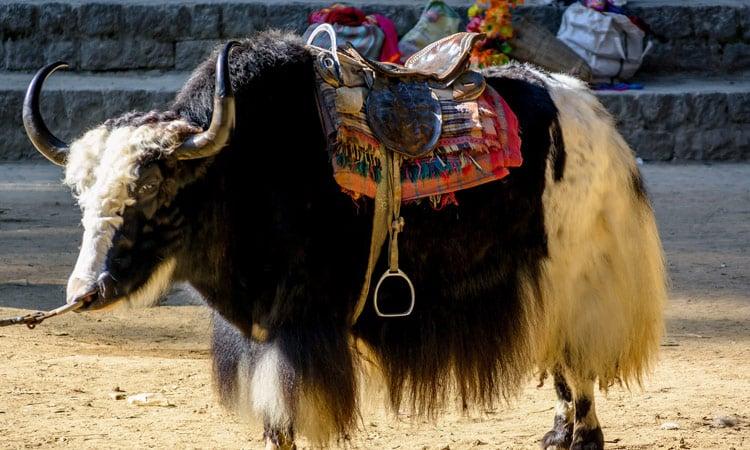 Das Yak ist Lasten- und Reittier