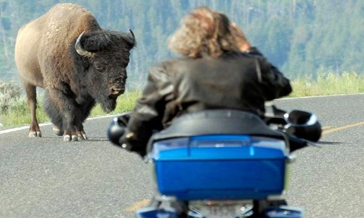 Biker und Bison
