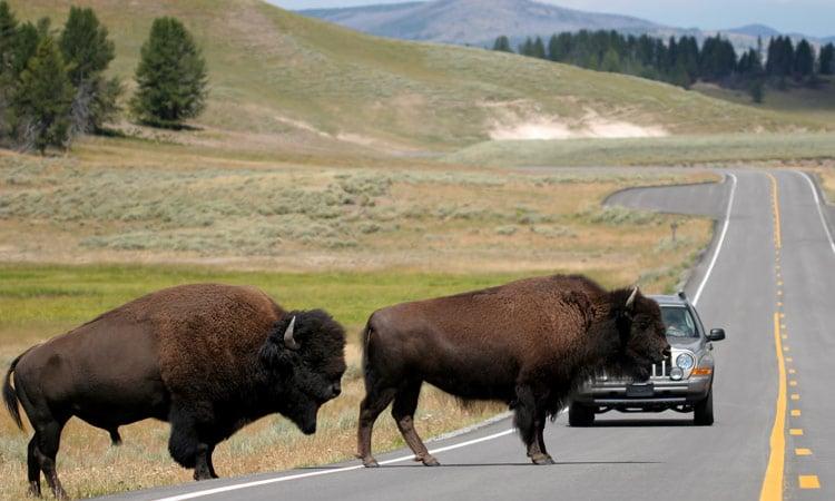 Bisons überqueren die Straße