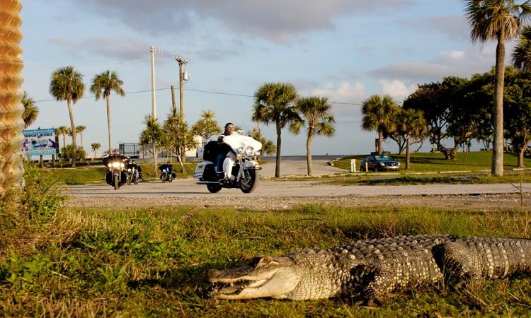 Aligator am Straßenrand