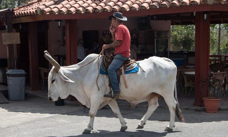 Der Reiter auf der Kuh
