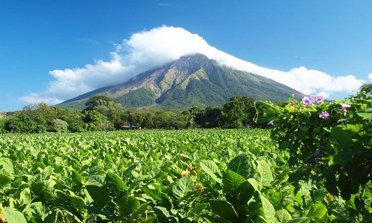 Blick über die Tabakplantage auf den Vulkan