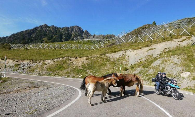 Pyrenäen Pferde auf der Strasse