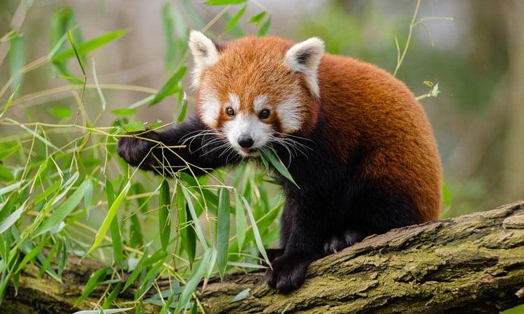 Sikkim der rote Panda Bär